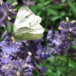 Glückliche Traumtänzerin im Lavendel