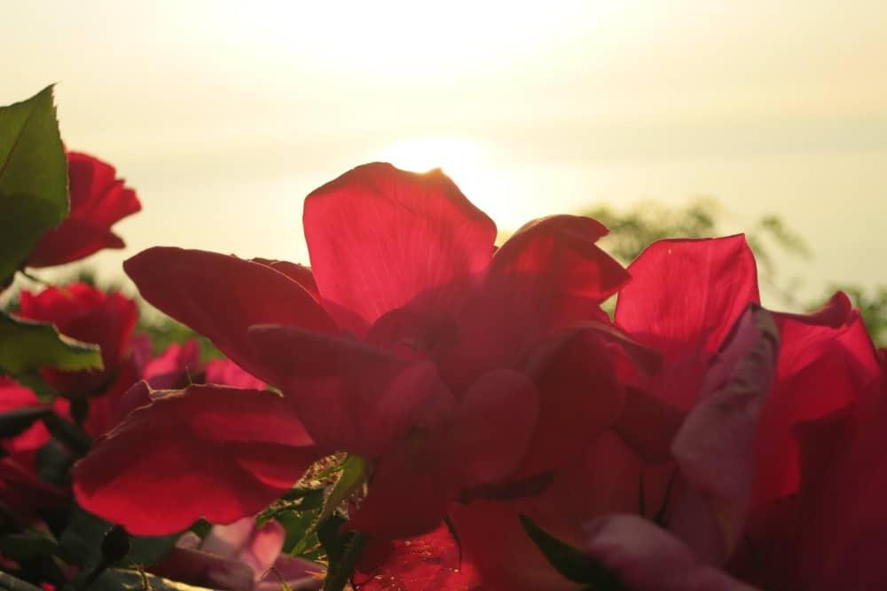 Rosen am Meer