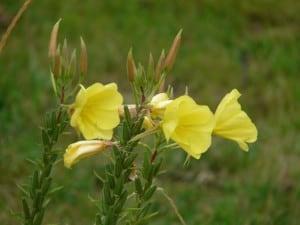 primrose-59902_640